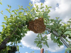 Bee swarm - many worker bees, the queen is typically in the middle of the swarm.