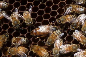 A queen bee surrounded by worker bees.