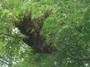 A bee swarm on a tree